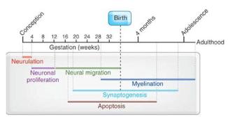 timeline of brain development